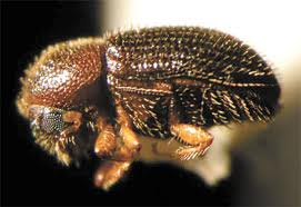 Save Kona Coffee! CBB Information, Fighting the berry borer